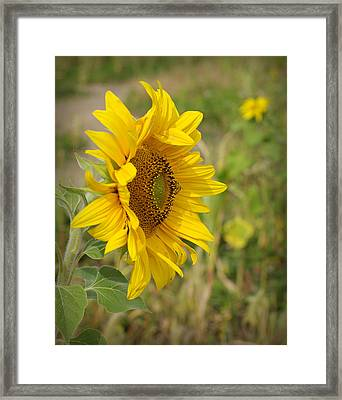 Sunflower Show Off Framed Print