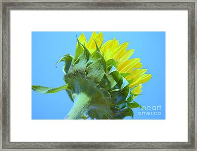 Sunflower Showing True Color Framed Print by Mary Deal