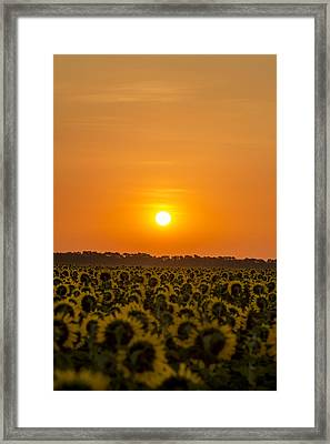Sunflower Sunrise Labor Day  Framed Print