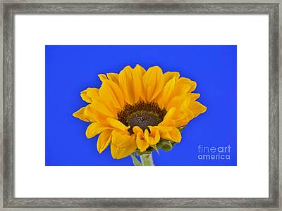 Sunflower Sunshine 406-6 Framed Print