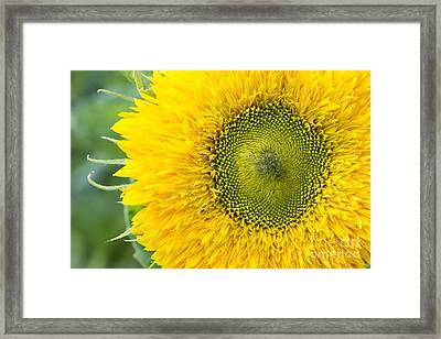 Sunflower Superted Framed Print by Tim Gainey