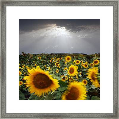 Sunflower Taking A Bow Framed Print by Floriana Barbu