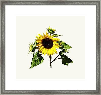 Sunflower Taking A Bow Framed Print