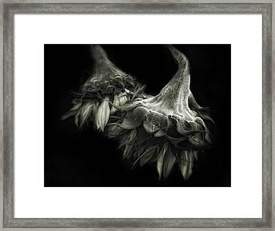 Sunflower Tango Framed Print
