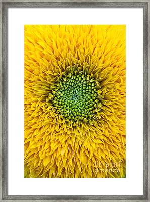 Sunflower Teddy Bear Framed Print by Tim Gainey
