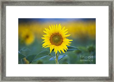 Sunflower Framed Print by Tim Gainey
