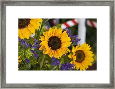 Sunflower Triplets Framed Print by Kevin  Sherf