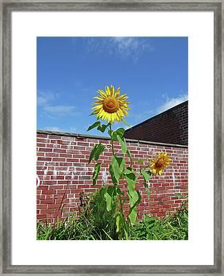 Sunflower Under Blue Skies Framed Print by Margie Avellino