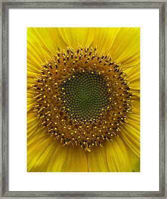 Sunflower Framed Print by Vari Buendia