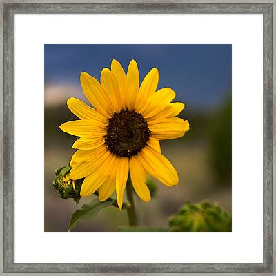 Sunflower Framed Print by William Wetmore