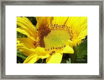 Sunflower With Honeybee Framed Print