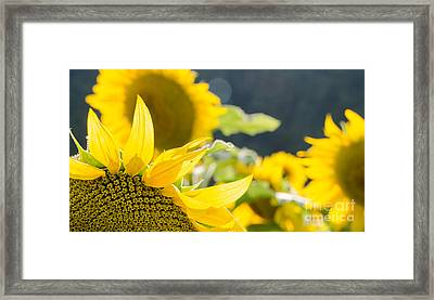 Sunflowers 14 Framed Print