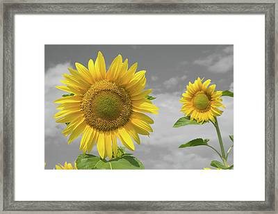 Sunflowers V Framed Print