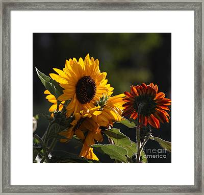 Sunflowers 8 Framed Print by Marjorie Imbeau