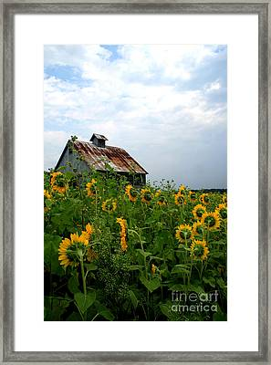 Sunflowers Along Rt 6 Framed Print