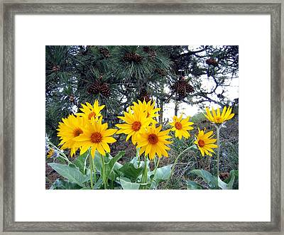 Sunflowers And Pine Cones Framed Print by Will Borden