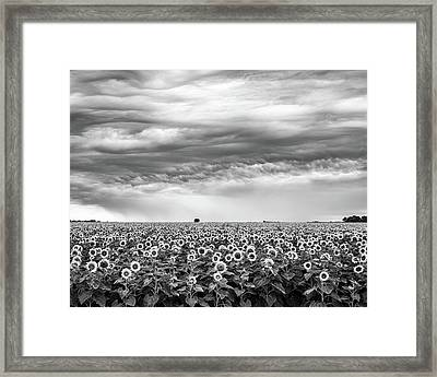 Sunflowers And Rain Showers Framed Print by Penny Meyers