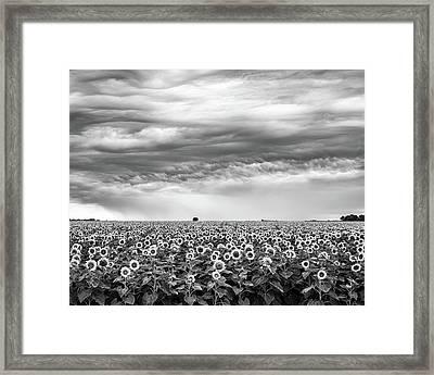 Sunflowers And Rain Showers Framed Print
