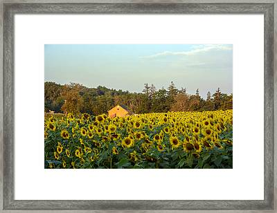 Sunflowers At Colby Farmstand Framed Print by Nicole Freedman