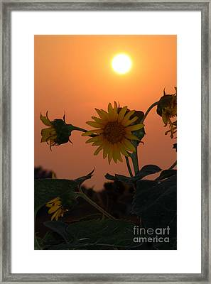 Sunflowers At Sunset Framed Print by Kathy  White