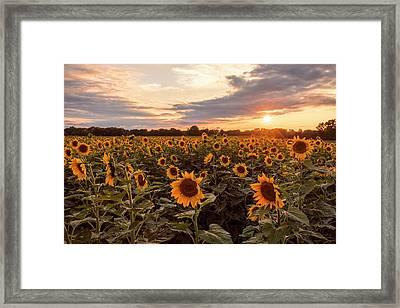 Sunflowers At Sunset Framed Print