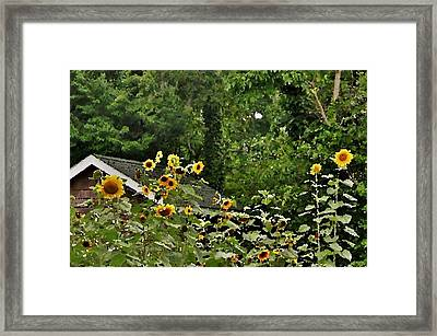 Sunflowers At The Good Earth Market Framed Print