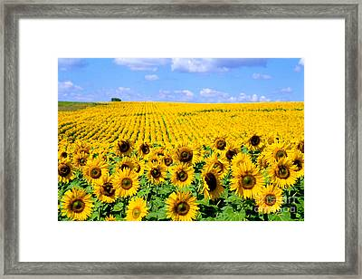 Sunflowers Framed Print by Bill Bachmann and Photo Researchers