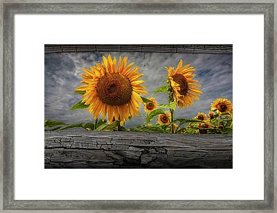 Sunflowers Blooming In A Field Seen Between Fence Rails Framed Print
