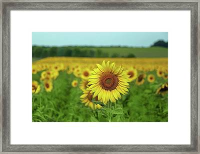 Sunflowers Framed Print by Brooke T Ryan