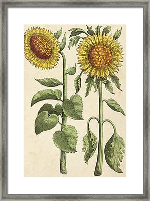 Sunflowers Framed Print by Emanuel Sweert