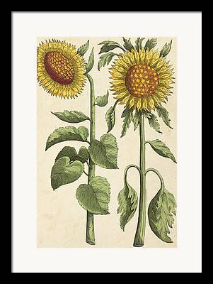 Yellow Sunflower Drawings Framed Prints