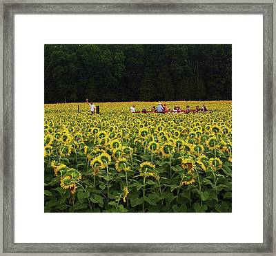 Framed Print featuring the photograph Sunflowers Everywhere by John Scates