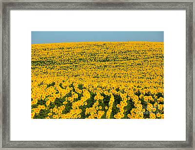Sunflowers Galore Framed Print by Catherine Sherman