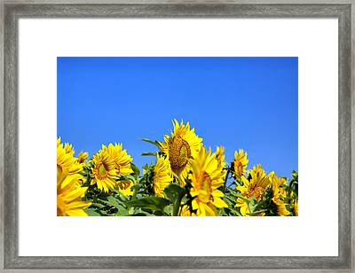 Sunflowers Framed Print by Gary Smith