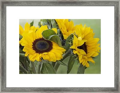 Sunflowers Helianthus Annus Framed Print