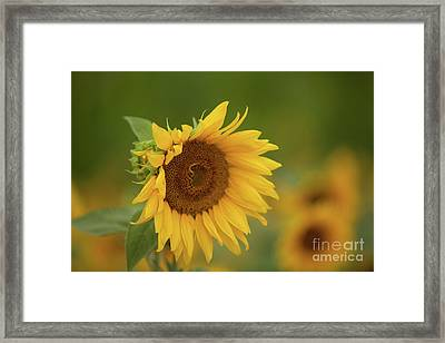 Sunflowers In Field Framed Print
