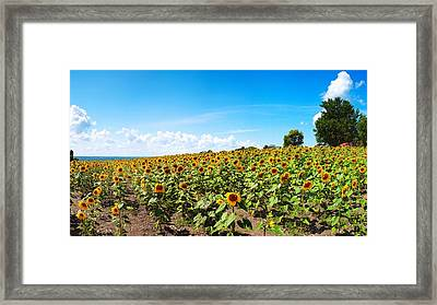 Sunflowers In Ithaca New York Framed Print by Paul Ge