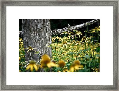 Sunflowers In North Carolina 2 Framed Print by Jonathan Hansen