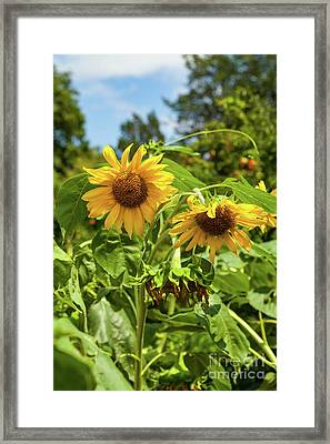 Sunflowers In Sunshine Framed Print