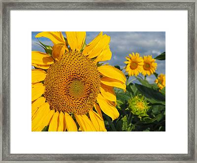Sunflowers Framed Print by James Peterson