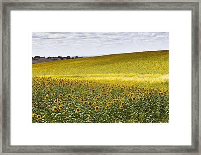 Sunflowers Framed Print by Mauricio Reis