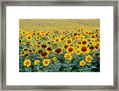 Sunflowers On A Cloudy Day Framed Print by Lisa Evans