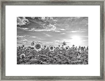 Bw Sunflowers Peep Toward The Sky  Framed Print by Tod and Cynthia Grubbs