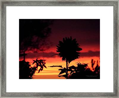 Sunflower's Sunset Framed Print