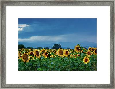 Sunflowers Under A Stormy Sky Framed Print