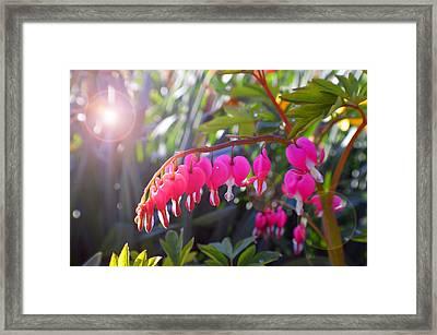 Sunkissed Bleeding Heart Framed Print by Tina M Wenger