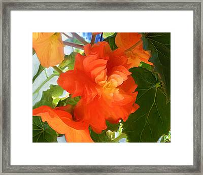 Sunkissed Orange Begonias Framed Print
