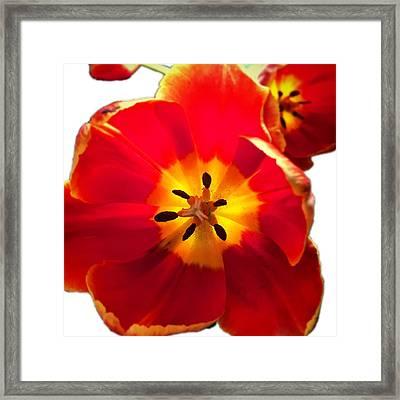 Sunkissed Tulips Framed Print
