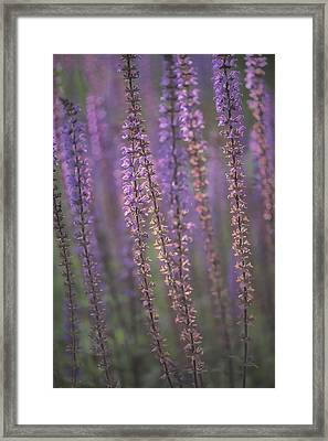 Sunlight On Lavender Framed Print