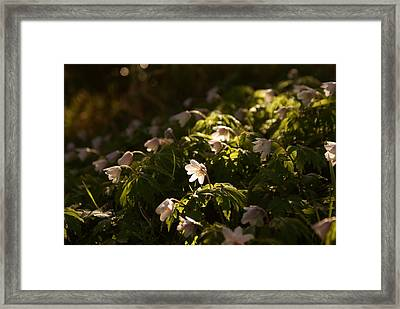Sunlight Filtering Through The Trees Onto The Daisies. Framed Print